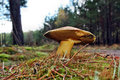 Mushroom suillus variegatus growing in the forest Stock Photos