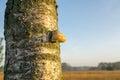 Mushroom on tree Royalty Free Stock Photo