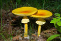 Mushrooms (Amanita caesareaoides) 1 Stock Photography