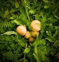 Mushrooms arranged in foliage Royalty Free Stock Photos