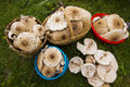 Mushrooms in autumn full baskets of parasol overview macrolepiota procera Stock Image