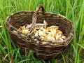 Mushrooms in a basket photo of standing green grass Royalty Free Stock Photography