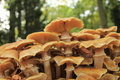 Mushrooms big in a fall forest Stock Photography