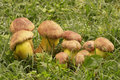 Mushrooms boletus speciosus Stock Image
