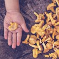 Mushrooms chanterelle in the basket Royalty Free Stock Photo
