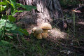 Mushrooms in the grass forest Royalty Free Stock Photo