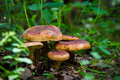 Mushrooms in the grass Royalty Free Stock Photo