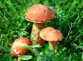 Mushrooms in the grass three closeup at summer day Royalty Free Stock Photos