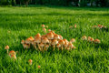 Mushrooms on green grass a lawn at autumn Royalty Free Stock Photo