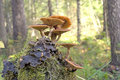 Mushrooms growing on a tree stump Stock Images