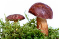 Mushrooms on moss Royalty Free Stock Image