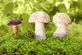 Mushrooms in the moss Stock Photos