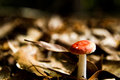 Mushrooms nature photography product photography red capped gilled mushroom in a field of leaves Stock Photos