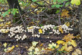 Mushrooms raincoats many small growing on old log in the autumn forest Stock Photography