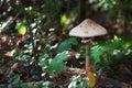 Mushrooms Series: Parasol Mushroom (Macrolepiota procera)