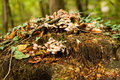 Mushrooms on tree stump clusters of wild and toadstools a in autumn fall Stock Image