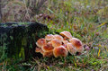 Mushrooms on a tree stump honey fungus armillaria mellea growing an old of an oak Royalty Free Stock Image