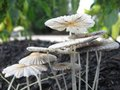 Mushrooms white and black growing from mulch Royalty Free Stock Photo