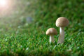 Mushrooms wild growing on the soft moss Stock Photo