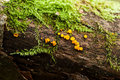 Mushrooms yellow on tree Royalty Free Stock Images