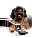 Musical instrument small doggie decorative thoroughbred dog puppy of the petersburg orchid shaggy doggie decorative doggie and Royalty Free Stock Photography