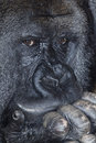 Musing gorilla Royalty Free Stock Images