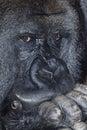 Musing gorilla Royalty Free Stock Images