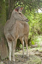 Musk deer full body of the Stock Images