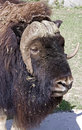 Musk-ox 5 Royalty Free Stock Photos