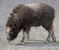 Musk ox calf latin name ovibos moschatus Royalty Free Stock Photography