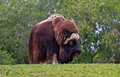 Musk ox a on a hill Royalty Free Stock Photography