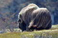 Musk ox ovibos moschatus in natural habitat Royalty Free Stock Photography