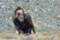 Musk ox ovibos moschatus in natural habitat Stock Images