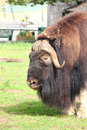 Musk ox standing on green grass summer meadow Stock Image