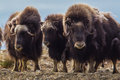 Musk Oxen Royalty Free Stock Photo