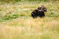 Musk Oxen (Ovibos moschatus) Royalty Free Stock Photo