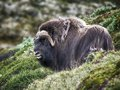 Muskox in countryside side view of musk ox dovrefjell national park norway Royalty Free Stock Image