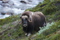 Muskox on mountainside green in dovrefjell national park norway Stock Photos