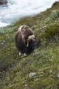 Muskox on mountainside green in dovrefjell national park norway Stock Image