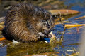 Muskrat Stock Photos