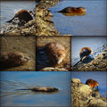 Muskrat Collage Royalty Free Stock Photo