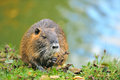 The muskrat (Ondatra zibethicus) Stock Photography
