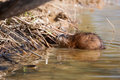 Muskrat ondatra zibethicus at home in a lake Stock Photography