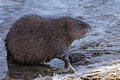 Muskrat profile a ondatra zibethicus sitting on the shore of the grand river in ontario canada Stock Photos