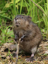 Muskrat Standingon Hind Legs Royalty Free Stock Photos