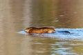 Muskrat swimming river reflection