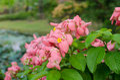 Mussaenda philippica virgin tree in garden thailand Royalty Free Stock Photos