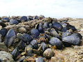 Mussels and barnacles close up on beach rocks at low tide Royalty Free Stock Photo