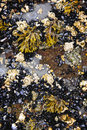 Mussels and barnacles at low tide Stock Photo