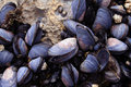 Mussels Closeup Royalty Free Stock Photo